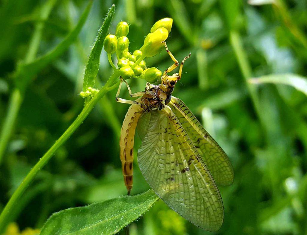 Maifliegenzeit – Die spannendste Zeit des Jahres an der Werra hat begonnen